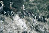 BIRD - PELICAN - BROWN - PARACAS WITH GUANAY CORMORANTS.jpg