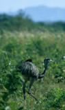 BIRD - RHEA - PANTANAL A.jpg