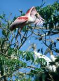 BIRD - ROSEATE SPOONBILL - PANTANAL A.jpg