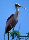 BIRD - ROSEATE SPOONBILL - PANTANAL C.jpg