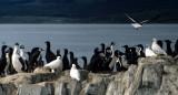 BIRD - SNOWY SHEATHBILL - ARGENTINA-BEAGLE CHANNEL-SHAG2.jpg