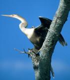 BIRD - SOUTH AMERICAN DARTER - PANTANAL.jpg
