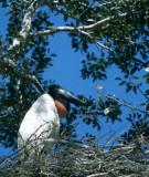 BIRD - STORK - JABIRU - PANTANAL B.jpg