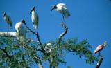 BIRD - STORK - WOOD - PANTANAL E.jpg