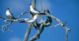 BIRD - TERN - LARGE BILLED - PANTANAL A.jpg