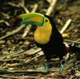 BIRD - TOUCAN - KEEL-BILLED - BELIZE - RAMBO C.jpg