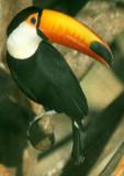 BIRD - TOUCAN - TOCO - PANTANAL B.jpg