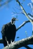 BIRD - VULTURE - BLACKHEADED - GUATEMALA.jpg
