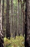 BELIZE - SOUTHERN PINE FOREST - PINE RIDGE A.jpg