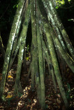 ECUADOR - AMAZONA  - WALKING TREE ADVENTICIOUS ROOTS.jpg