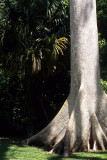 GUATEMALA - CEIBA - NATIONAL TREE AT TIKAL.jpg