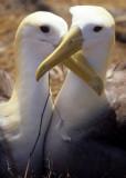 BIRD - ALBATROSS - WAVED R.jpg