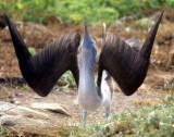 BIRD - BOOBY - BLUE FOOTED - GALAPAGOS AAAA.jpg