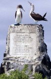 BIRD - BOOBY - BLUE FOOTED - GALAPAGOS AL.jpg