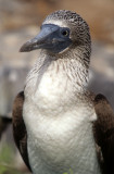 BIRD - BOOBY - BLUE FOOTED - GALAPAGOS C.jpg
