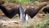 BIRD - BOOBY - BLUE FOOTED - GALAPAGOS I.jpg