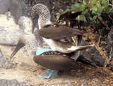 BIRD - BOOBY - BLUE FOOTED - GALAPAGOS L.jpg