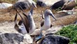 BIRD - BOOBY - BLUE FOOTED - GALAPAGOS U.jpg