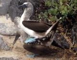 BIRD - BOOBY - BLUE FOOTED - GALAPAGOS.jpg