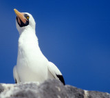 BIRD - BOOBY - MASKED - GALAPAGOS B.jpg