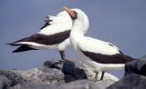 BIRD - BOOBY - MASKED - GALAPAGOS I.jpg