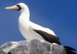 BIRD - BOOBY - MASKED - GALAPAGOS K.jpg
