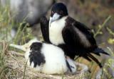 BIRD - FRIGATE BIRD A.jpg
