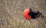 BIRD - FRIGATE BIRD P.jpg