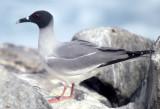 BIRD - GULL - SWALLOW-TAILED - GALAPAGOS A.jpg