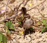 BIRD - MOCKINGBIRD SPECIES A - GALAPAGOS A.jpg