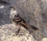 BIRD - MOCKINGBIRD SPECIES A - GALAPAGOS C.jpg