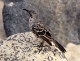 BIRD - MOCKINGBIRD SPECIES B - GALAPAGOS.jpg