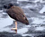 BIRD - OYSTER CATCHER - AMERICAN - GALAPAGOS.jpg