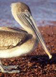 BIRD - PELICAN - BROWN - GALAPAGOS.jpg