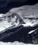 BIRD - PENGUIN - GALAPAGOS A.jpg