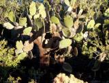 GALAPAGOS - OPUNTIA TREE.jpg