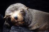 PINNIPED - SEAL - GALAPAGOS SEAL SLEEPING.jpg