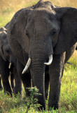 ELEPHANT - SERENGETI 56.jpg