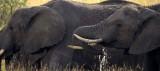 ELEPHANT - SERENGETI 5AA.jpg