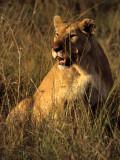 FELID - LION - SERENGETI (18).jpg