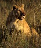 FELID - LION - SERENGETI (25).jpg