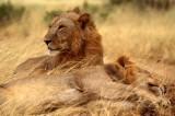 FELID - LION - SHABA (2).jpg