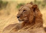 FELID - LION - SHABA (3).jpg