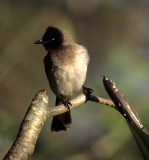 BIRDS - BULBUL - BLACKEYED - KRUGER.jpg