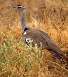 BIRDS - BUSTARD - KORI - KENYA B.jpg