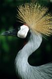 BIRDS - CRANE - CROWNED CRANE - SOUTHERN - KRUGER.jpg