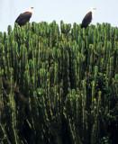 BIRDS - EAGLE - AFRICAN FISH - KENYA B.jpg