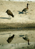 BIRDS - HAMMERKOP & WHITEFACED DUCK - KRUGER.jpg
