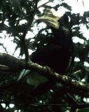 BIRDS - HORNBILL - BLACK AND WHITE CASQUED - UGANDA A.jpg