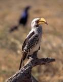 BIRDS - HORNBILL - YELLOWBILLED - OKAVANGO C.jpg